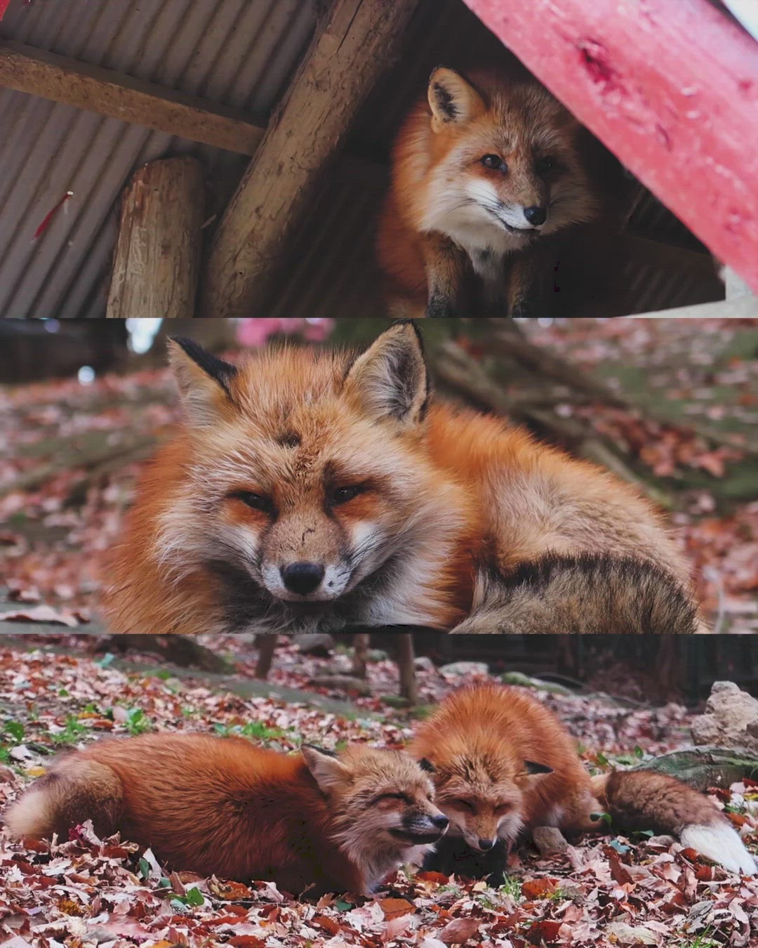 with foxes